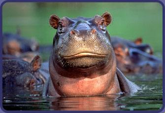 hippo444444