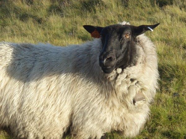 ovca - vtipný obrázok - Kalerab.sk