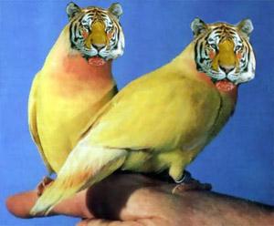 tiger - vtipný obrázok - Kalerab.sk
